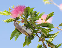 Yellow honey eater in pink acacia tree Royalty Free Stock Images