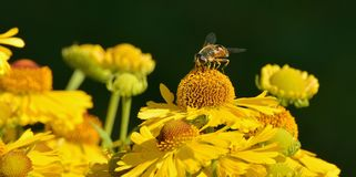 Yellow Honeybee on Yellow Petal Flower Royalty Free Stock Image