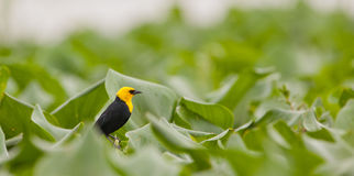 Yellow-hooded Blackbird Stock Photos