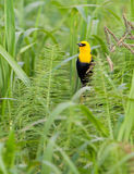 Yellow-hooded Blackbird. A male Yellow-hooded Blackbird (Chrysomus icterocephalus) hides in the thick vegetation of the vegetal floating islands of the amazon royalty free stock photography