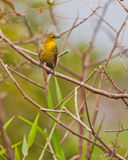 Yellow-hooded Blackbird on twig Royalty Free Stock Photography