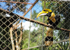 Yellow hornbill in cage Stock Photography