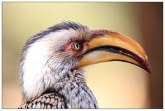 Yellow Hornbill Close-up Royalty Free Stock Photo