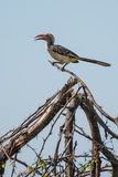 Yellow Hornbill. A yellow hornbill sitting upon a branch Royalty Free Stock Photography