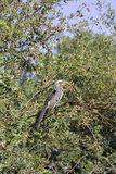 Yellow Hornbill. Southern Yellow-Billed Hornbill sat in a tree Stock Image