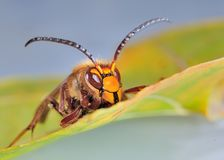 Yellow Hornet. A yellow hornet setting on a fall leaf Royalty Free Stock Photography
