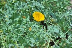 Yellow hornpoppy Stock Photo
