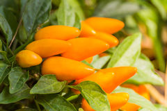 Yellow hot chili peppers on the tree Stock Photography