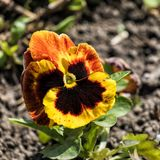 Yellow-hot heartsease. Viola tricolor Royalty Free Stock Photography