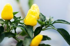 Yellow hot pepper plant. Detail of a yellow hot pepper plant Stock Images