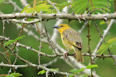 Yellow house finch, South Africa stock photos
