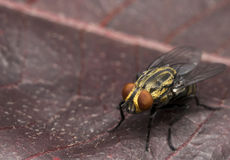 Yellow house fly on a red leaf. Yellow house fly on a red tree leaf Royalty Free Stock Photography