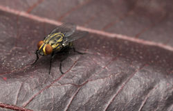 Yellow house fly on a red leaf. Yellow house fly on a red tree leaf Stock Image