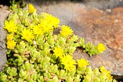 Yellow houseleek Royalty Free Stock Images