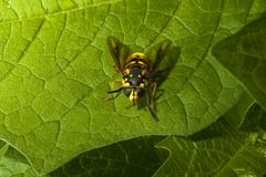 Yellow hover fly wasp on green leafs foliage colour contrast. Looks like a wasp stock photos