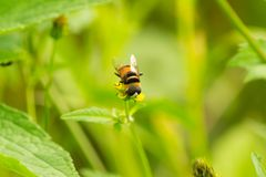 Yellow Hover Fly on flower. Yellow Hover Fly on yellow wild flower isolated with green semi blurred background stock photo