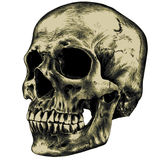Yellow human skull. On a blank background Stock Photography