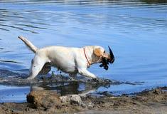 A yellow hunting labrador retrieving Royalty Free Stock Image