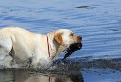 Yellow hunting labrador retrieving Stock Photography