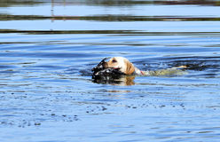 The yellow hunting labrador retrieving Royalty Free Stock Photography