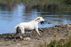 A yellow hunting labrador retrieving Stock Photography