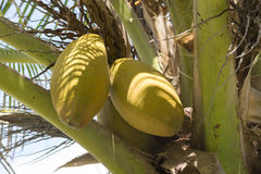 Yellow husk coconuts on coconut palm. Closeup of two yellow husk coconuts hanging on Cocos nucifera palm tree outdoors in natural environment Royalty Free Stock Image