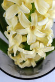 Yellow hyacinth. In a glass vase Stock Image