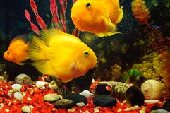 Yellow hybrid cichlid parrot in freshwater aquarium. royalty free stock photography