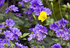 Yellow Iceland Poppy between purple cranesbill flowers Royalty Free Stock Images