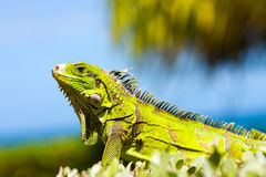 Yellow Iguana Royalty Free Stock Photo