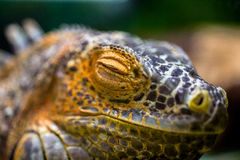 Yellow iguana closeup. Sleeping yellow iguana close-up in the terrarium Royalty Free Stock Photos