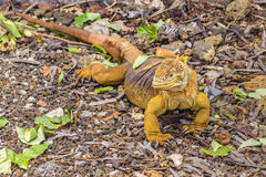 Yellow Iguana at Ground Floor. Exotic yellow iguana resting at ground floor at Galapagos National Park, Ecuador royalty free stock photography