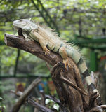 Yellow iguana relax on the rain Stock Image