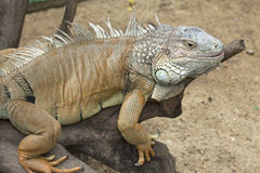 Yellow iguana relax on the wood Royalty Free Stock Photos