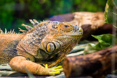 Yellow iguana. Sitting in a terrarium Royalty Free Stock Photography