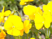 Yellow Impatiens Royalty Free Stock Image