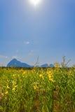 Yellow indian hemp flowers Stock Image