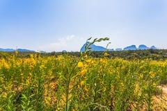 Yellow indian hemp flowers Stock Photos
