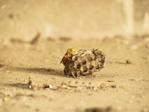 Yellow Indian paper wasp on nest close up image. Insect nest protect animal wildlife concept royalty free stock photos
