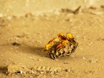 Yellow Indian wasp on nest. Real life sting bee nesting place showing image stock photos