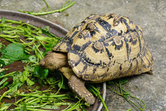 Yellow Indochinese box turtle Stock Images