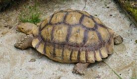 Yellow Indochinese box turtle Stock Photography