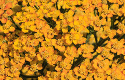 Yellow  inflorescence herb as background Royalty Free Stock Photography