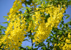 The yellow inflorescences of golden shower Laburnum anagyroides Royalty Free Stock Photos