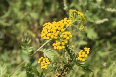 Yellow inflorescences of tansy flowers Tanacetum vulgare Royalty Free Stock Images