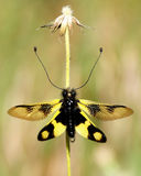 Yellow insect. On a dry flower, with widespread stringed wings Stock Image