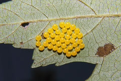 Yellow Insect Eggs Royalty Free Stock Photo