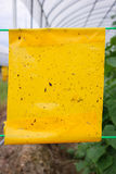 Yellow insect glue trap cucumber plant in greenhouse agriculture. Royalty Free Stock Photos