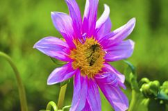 Yellow Insect on a violet flower with green isolated background royalty free stock photos