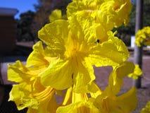 Yellow ipe Stock Images